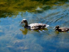 Ducks by parsek76