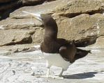 Brown Booby 005 by Elluka-brendmer