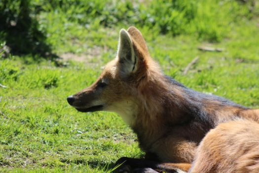 Maned Wolf 4 by petra128
