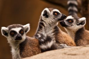 Inquisitive Lemurs by ladynightseduction