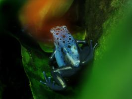 Poison Dart Frog by firitheryn