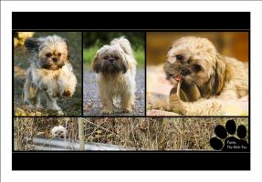 Fanta The Shih-Tzu by sG-Photographie