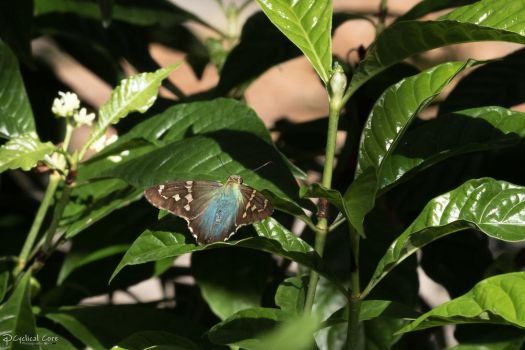 Iridescent skipper butterfly by CyclicalCore