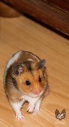 Bramble the Hamster by Takarti