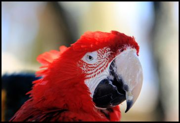 Red Macaw by L-S-P