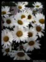 Daisies In Summer by MadKIDFlava