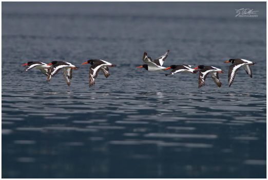 Oystercatchers by Swordtemper