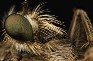 Robber Fly 9 by Alliec