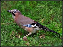 Jay 3 by cycoze