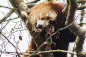 Red Panda-7084 by Christina-Phillips