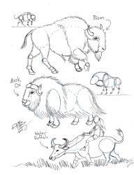 Draw Bison, Musk Ox and Water Buffalo by Diana-Huang