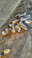 Barnacle on Bamboo  by robchange