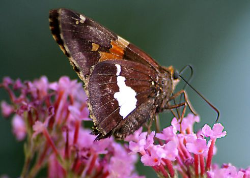 Butterfly lick looking right by CurtisNeeley