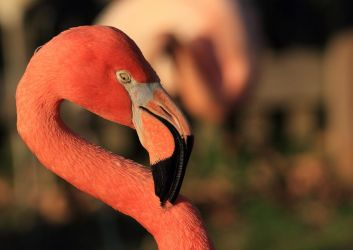 Flamingo by corpseweles
