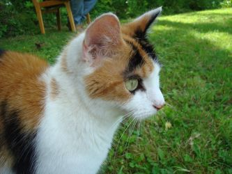 Calico Cat Stock 2789 by sUpErWoLf--StOcK
