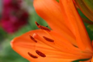 Orange Flower by HaMaSeR