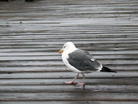 California Gull_3 by mad-thoughts
