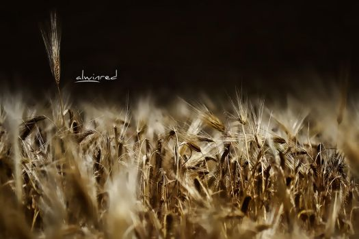 Golden Wheat by alwinred