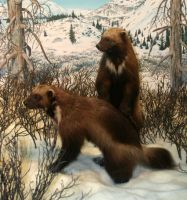 Denver Museum Badger 266 by Falln-Stock