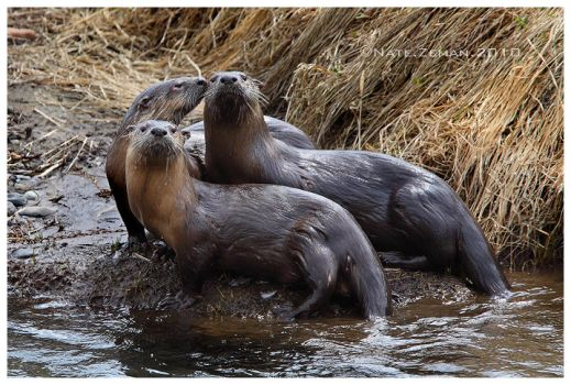 Three Otters by Nate-Zeman