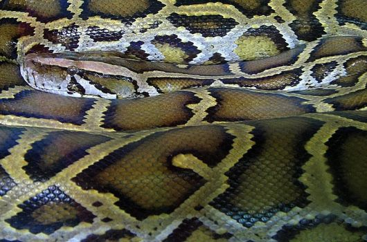 Constrictor by silycat3