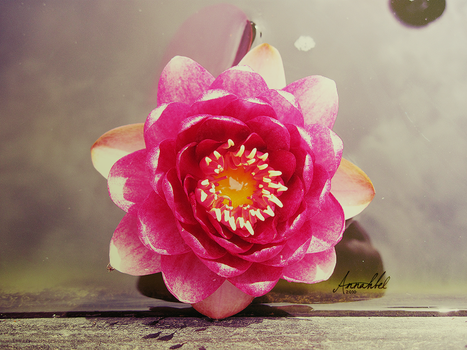 Majestic water lily by Annahbel