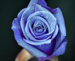 Blue Rose2 by tanzenderengel