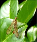 Scorpion Fly by Lupsiberg