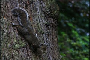 Descending Squirrel by TakeMeToAnotherPlace