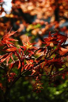 Acer Japonicum by Andunie