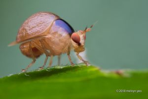 Beetle fly Celyphidae by melvynyeo