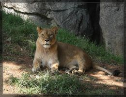 Lioness 40D0026799 by Cristian-M