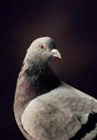 Pigeon portait by Thunderi