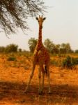 African beauty.Giraffe. by shakti-anishka