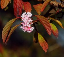 First Viburnum Flowers by Althytrion