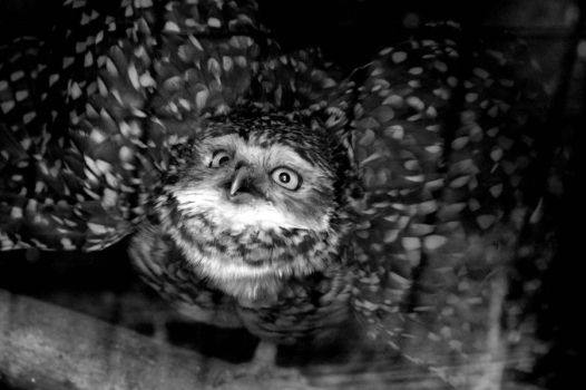 Burrowing Owl by beccasubmarine