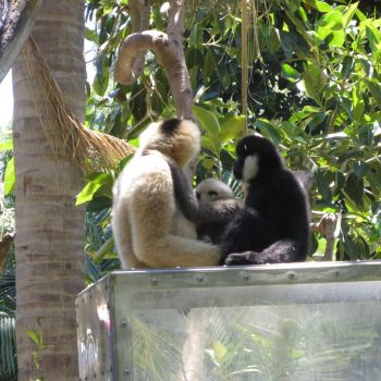 Adelaide Zoo- a family of white-cheeked gibbons by Tarturus