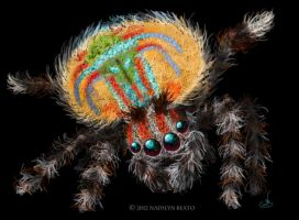 Austrailian Peacock Jumping Spider by NadilynBeato
