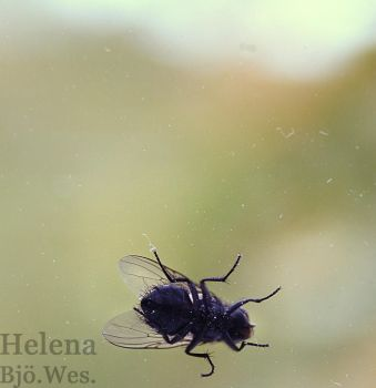 The fly by Helenabw