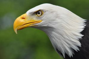 mighty bald eagle by evilpinguperson