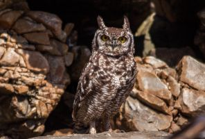 Spotted Eagle-Owl by PhilippeduPreez