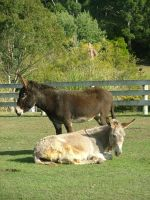 .stock: donkeys 1. by guavon-stock