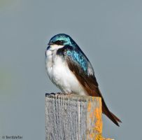 Swallow Study One by TerribleTer