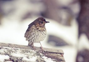 Cold Song Thrush by FreyaPhotos