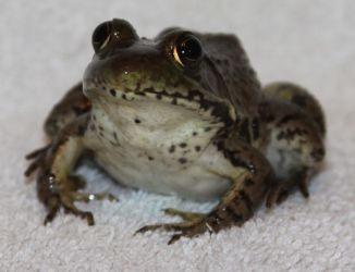 Frog Stock 5 of 5 by Lovely-DreamCatcher