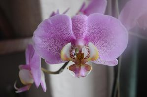orchid 1 by density-stock