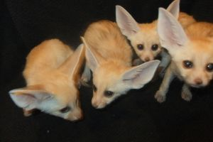 Four fennec fox kits by Corsacfoxes