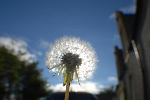 Dandelion In The Sun by Emmwah