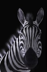 Zebra Face on Black Background by Elle-Arden