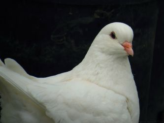 White Pigeon by ayesi